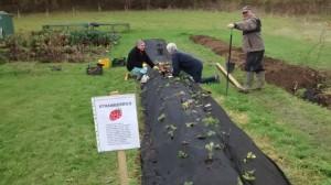 Strawberry Planting 2014